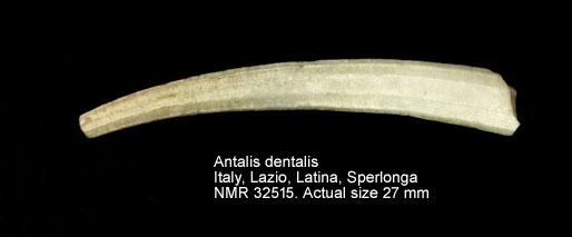 Antalis dentalis