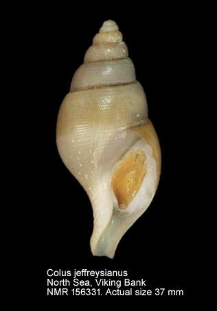 Colus jeffreysianus