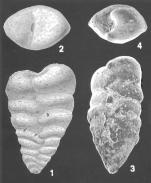 Textularia paragglutinans Zheng Identified Specimens