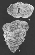Textularia pseudogramen Chapman & Parr Identified Specimens
