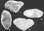 Sahulia lutzei Langer Identified Specimens