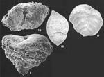 Textularia pseudosolita Zheng Identified Specimens