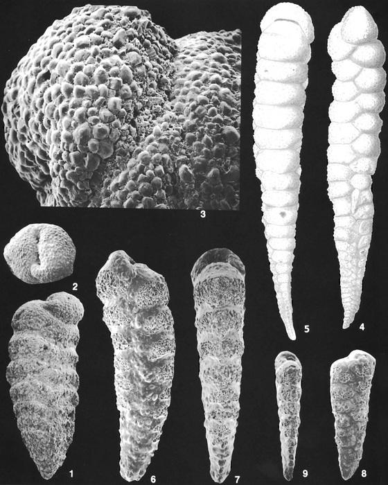 Textularia stricta Cushman Identified Specimens