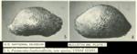 Paranesidea fracticorallicola Maddocks, 1969 from the original description (Maddocks, 1969,  Pl. 1.5-1.6)