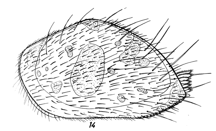 Triebelina schulzi Hartmann, 1964 from the original description, Pl. 4.14