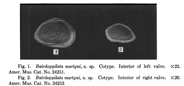 Bairdoppilata martyni Coryell, Sample & Jennings, 1935 from the original description