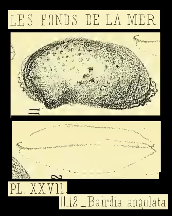 Bairdia angulata Brady, 1870 from the original description, Pl. 27.11-27.12