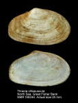 Thracia villosiuscula