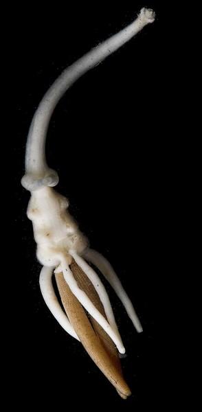 Brachiella thynni female