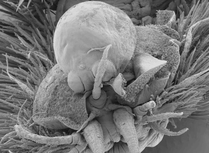 SEM image of Herpyllobius polynoes female
