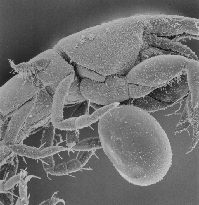 SEM image of Microdajus pectinatus female and larva on host