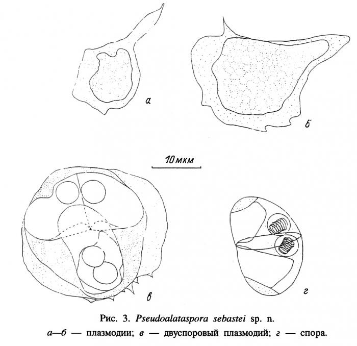 Developmental stages and myxospores