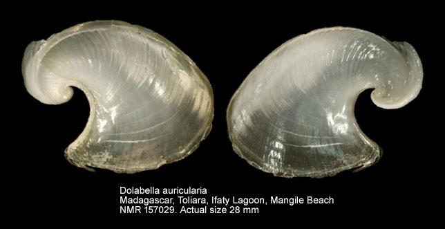 Dolabella auricularia
