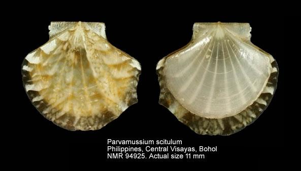 Parvamussium scitulum