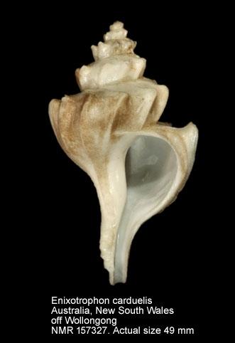 Enixotrophon carduelis