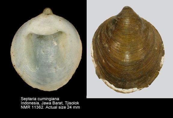 Septaria cumingiana