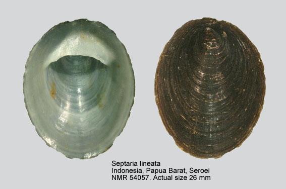 Septaria lineata