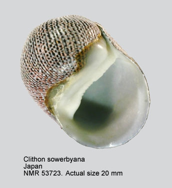 Clithon sowerbianum