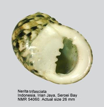Nerita trifasciata