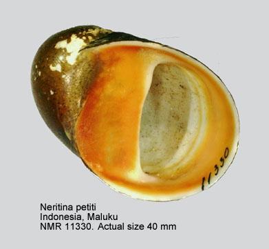 Neritina petitii