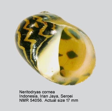 Neritodryas cornea