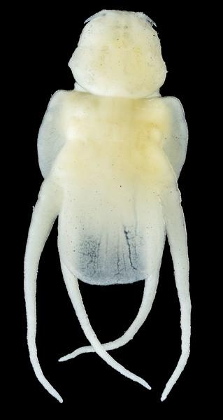 Lernanthropus breviculus female