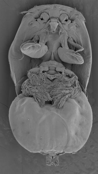 SEM image of Kabataia ostorhynchi female (ventral)