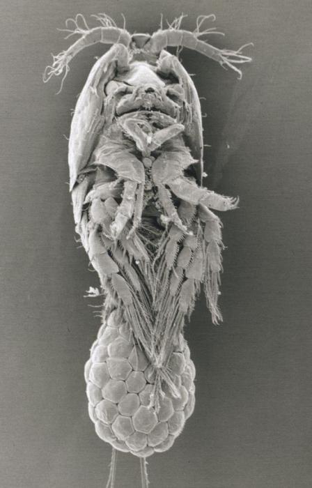 SEM image of Harpacticella inopinata (ventral)