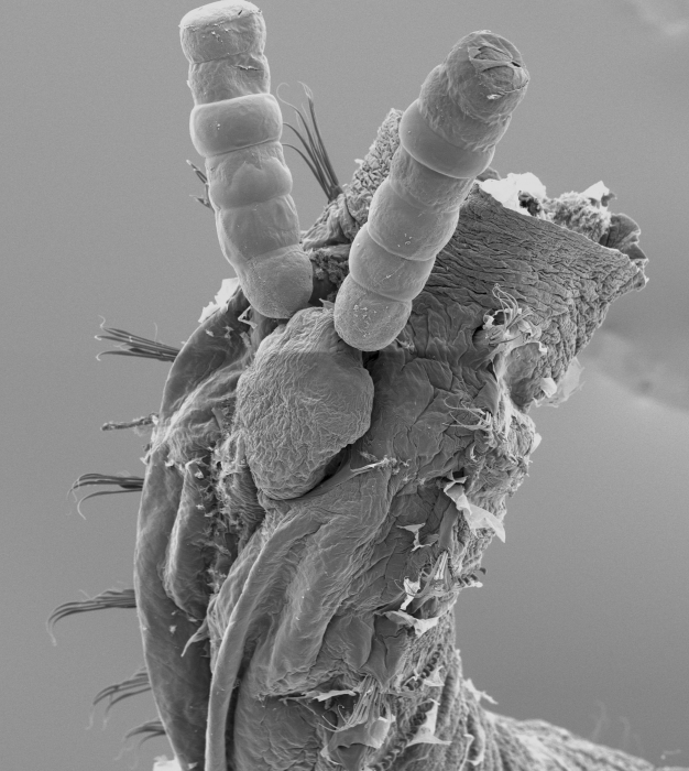 SEM of ovigerous Jasmineiricola mackiei on host