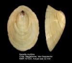 Nacella mytilina