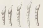 Dentalina roemeri Neugeboren, 1856 syntypes