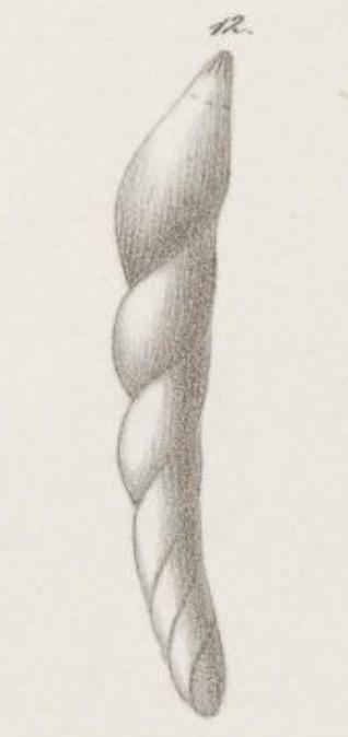 Dentalina haueri Neugeboren, 1856 Holotype