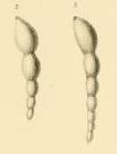 Nodosaria (Dentalina) laxa Reuss, 1866