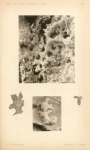 Ramulina grimaldii Schlumberger, 1891