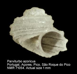 Parviturbo azoricus