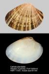 Callista planatella