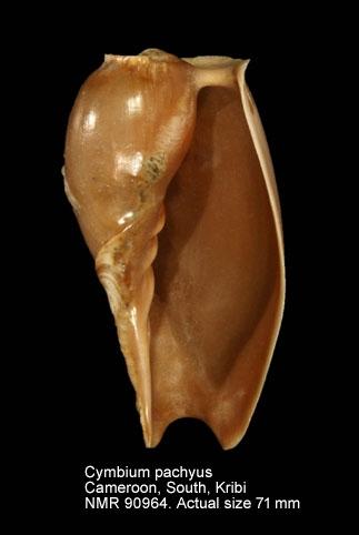 Cymbium pachyus
