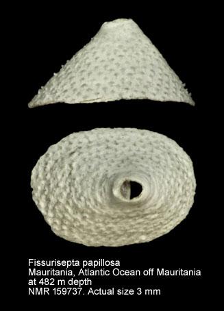 Fissurisepta papillosa