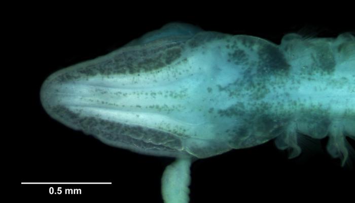 Magelona parochilis dorsal head