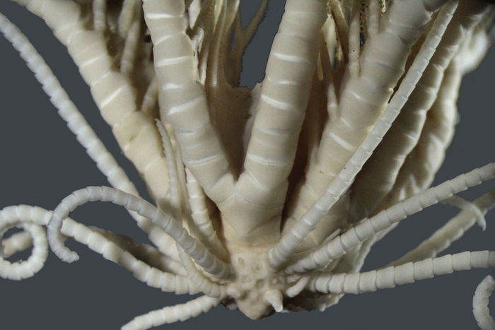 Isometra vivipara Mortensen, 1917, SYNTYPE, specimen 2.