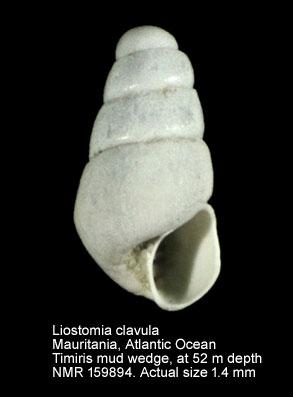Liostomia clavula