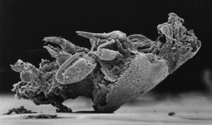 Kabatarina patersoni Holotype female