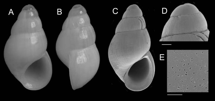Onoba goyoi Utrilla, Urra & Gofas, 2020Holotype from Gazul Mud Volcano, Gulf of Cádiz (actual size 2.15 mm).