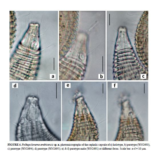 Polkepsilonema arabicensis