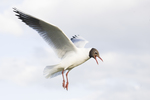 Black-headed gull - Larus ridibundus