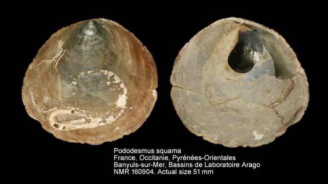 Pododesmus squama