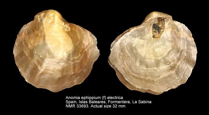 Anomia ephippium