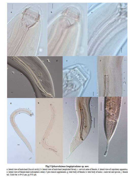 Sphaerolaimus longispiculatus