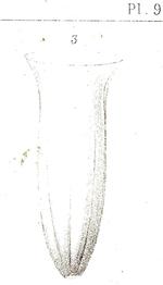 Amphorides quadrilineata originally described as Tintinnus quadrilineata
