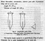 Amphorellopsis acuta was originally described by Schmidt in 1902 as Amphorella acuta